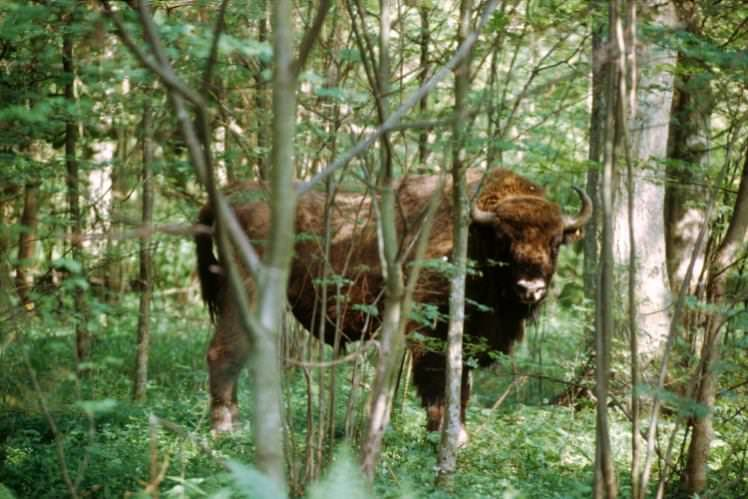 dal sito http://images-resrc.staticlp.com/S=W748/O=75/http://www.lonelyplanet.com/travel-blog/tip-article/wordpress_uploads/2015/05/bison-poland-750_cs.jpg