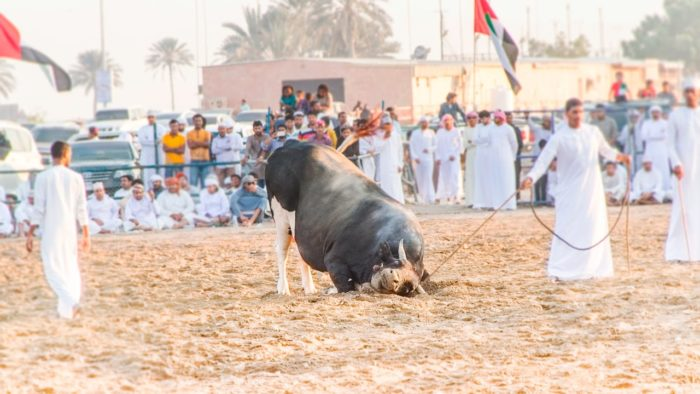 Fujairah Bulls' Fight